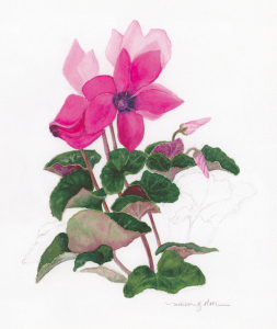 """Cyclamen blooming,"" by Melissa Olson"